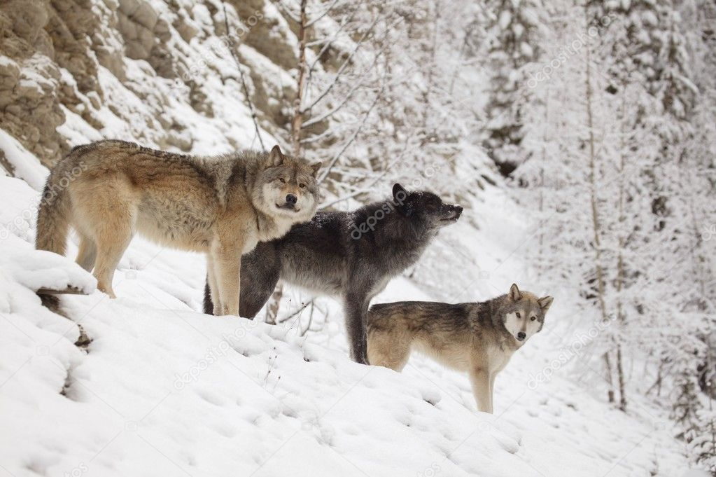Three Wolves In Winter