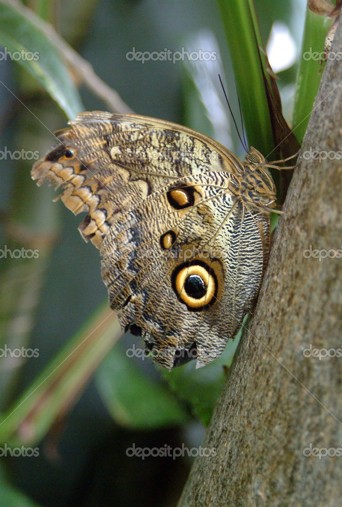 An Owl Moth Resting On A Branch