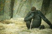 Photo A Gorilla