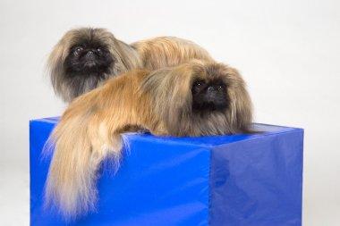 Pair Of Pekinese Dogs