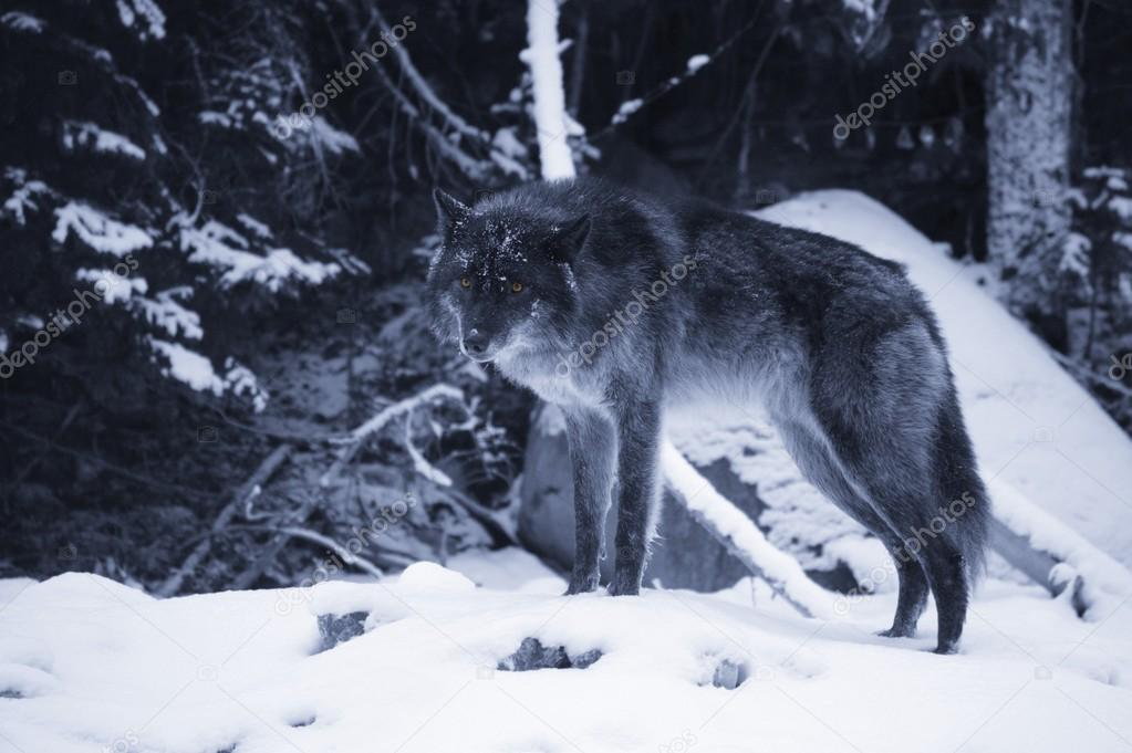 Lone Wolf In Snow