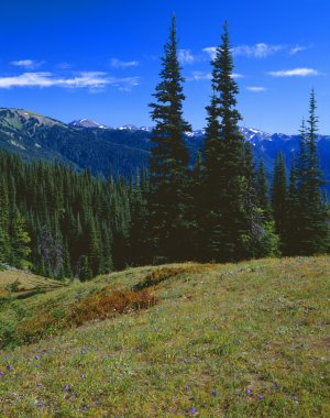 Fir Trees And Mountain Landscape, Olympic National Park