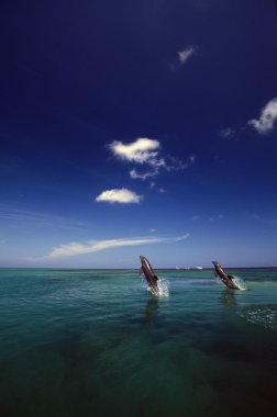 Two Bottlenose Dolphins Dancing Across Water On Tails, Caribbean Sea