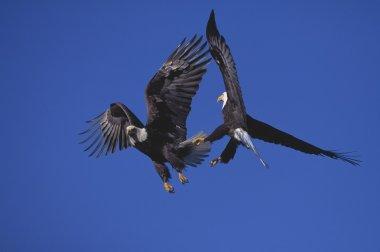 Bald Eagles Sparring