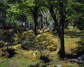 erdei fák és mohák, killarney nemzeti park