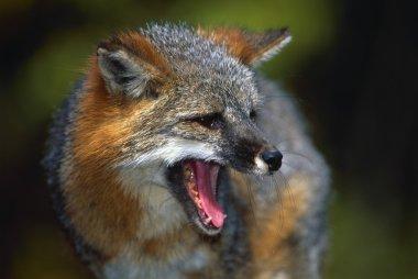 Portrait Of Gray Fox Barking