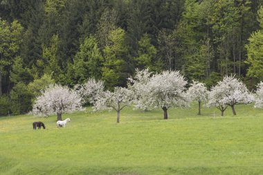 Horses Grazing By Apple Trees In Bloom In Bavarian Landscape