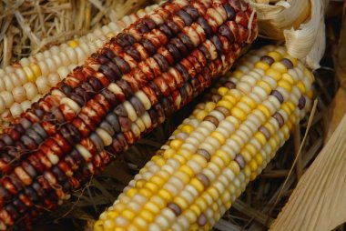 Decorative Corn stock vector