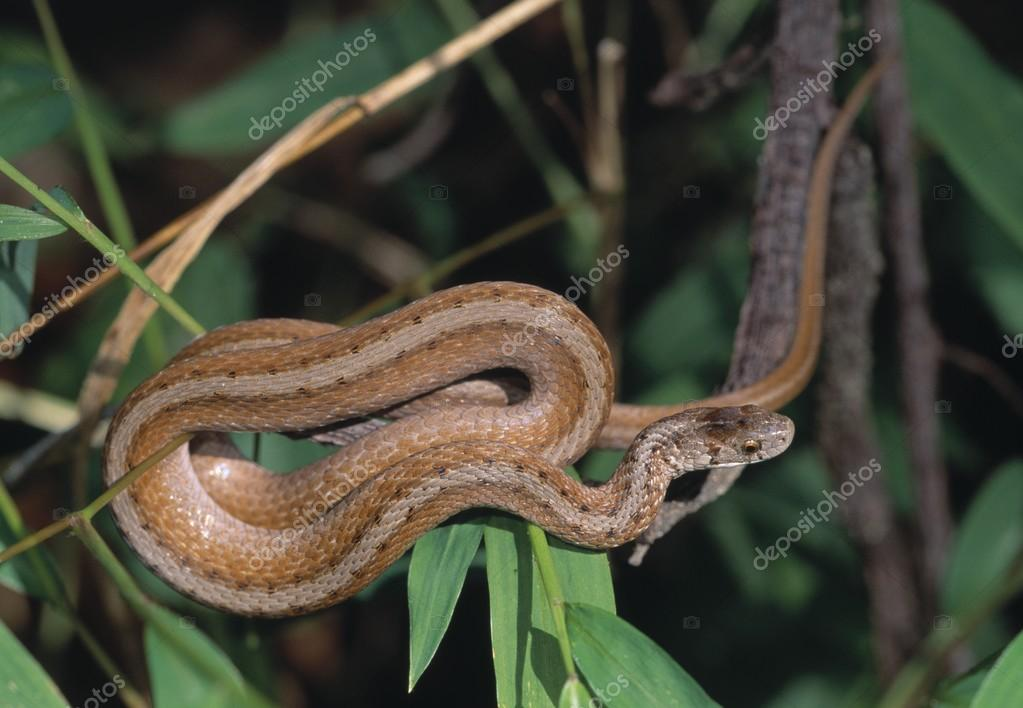 Northern Brown Snake (Storeria D. Dekayi) Coiled On A Branch, Daniel's Area, Patapsco State Park