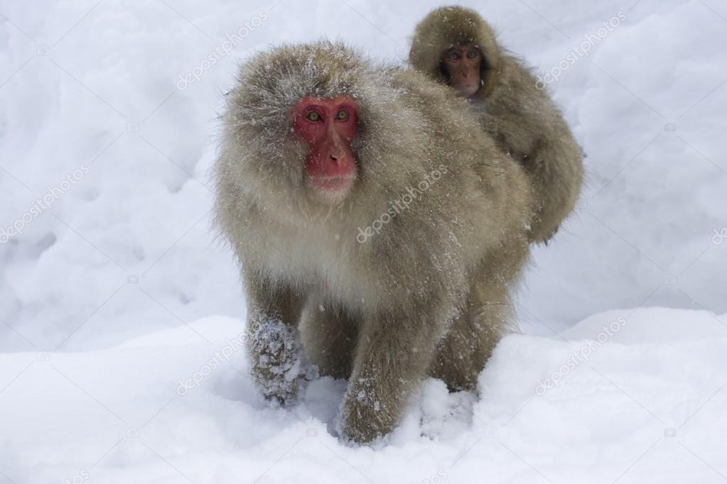 Portrait Of Snow Monkey With Baby