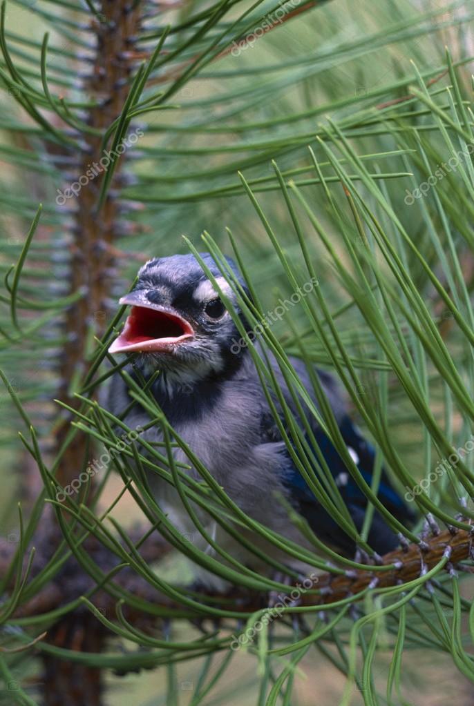 Fledgling Blue Jay In Branch