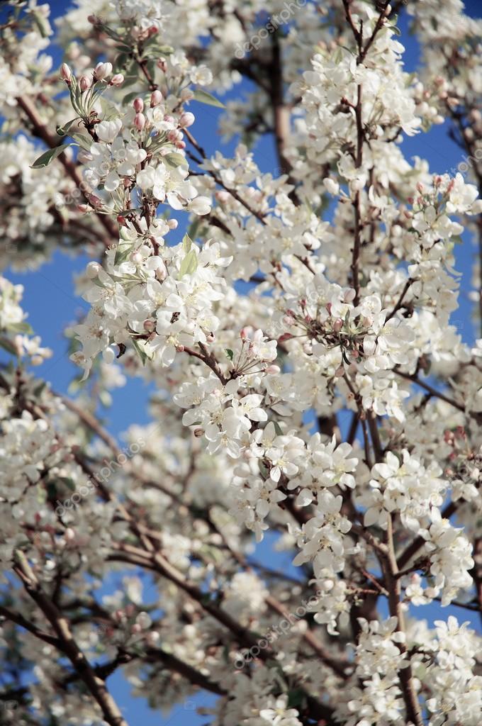 Baum mit weißen Blüten — Stockfoto © DesignPicsInc #31683157
