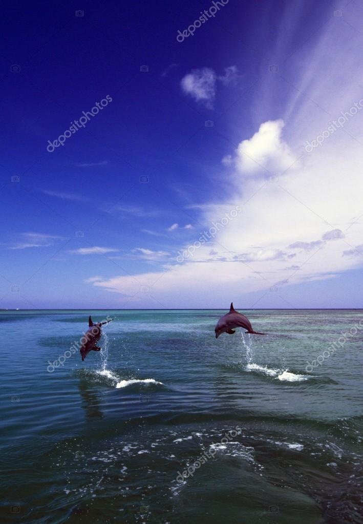 Two Bottlenose Dolphins Leaping Out Of Water, Caribbean Sea