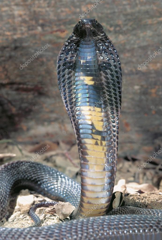 Black Pakastini Cobra