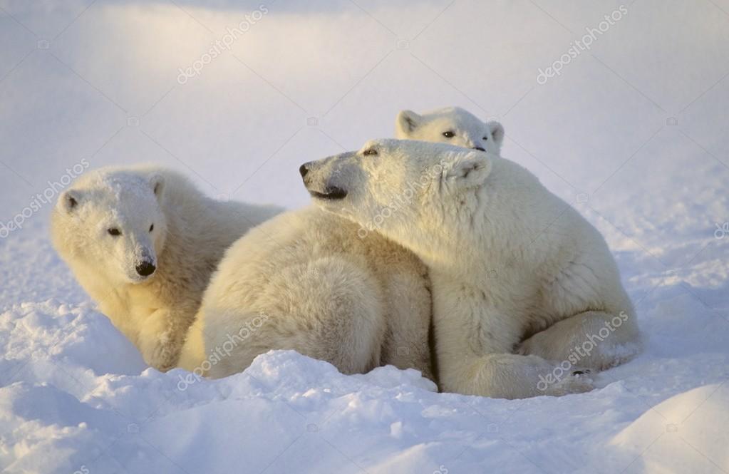 Polar Bear Sow With Cubs