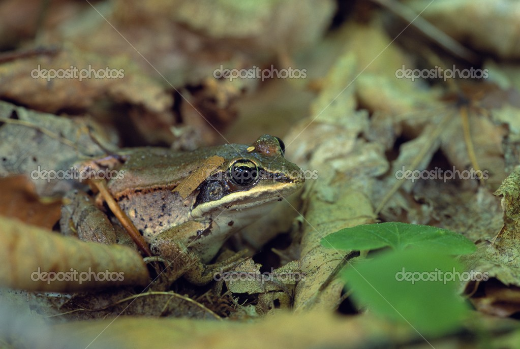 Close Up Of Wood Frog