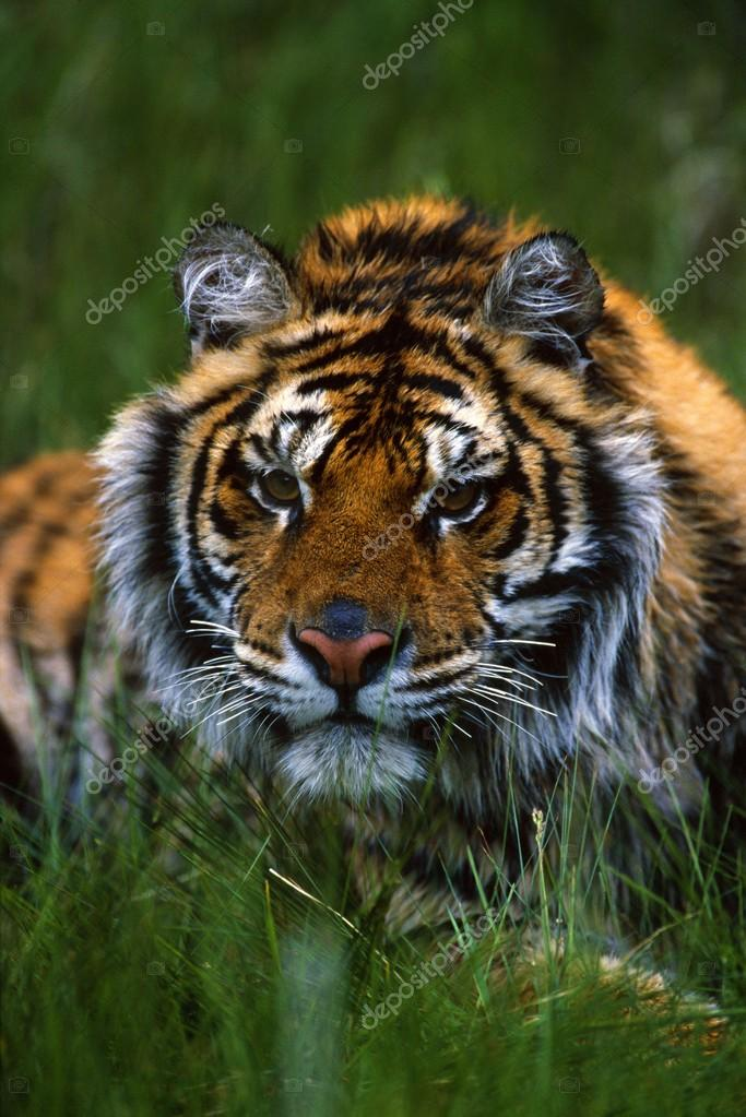 Siberian Tiger In Grass.