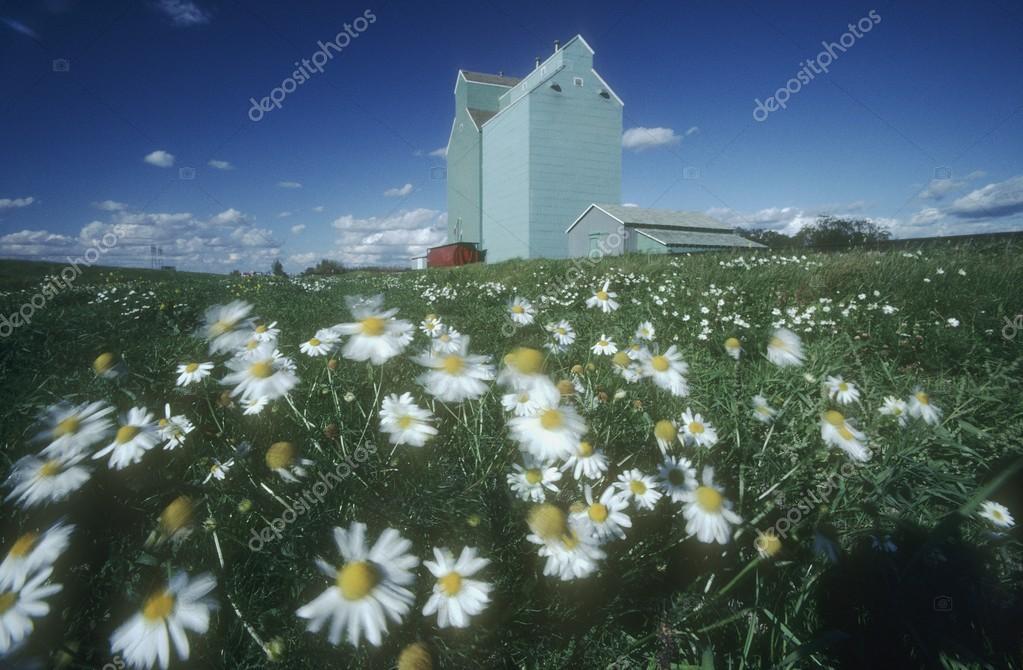 Daisy Field And Grain Elevators, Alberta, Canada