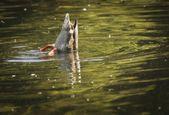 eine Ente Tauchen für Lebensmittel
