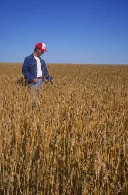 Farmer Surveying Crop