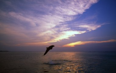 Bottlenose Dolphin Leaping At Sunset, Caribbean Sea