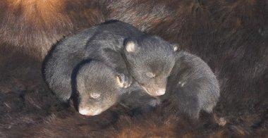 Infant Black Bear Cubs