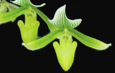 Green Paphiopedium Orchids
