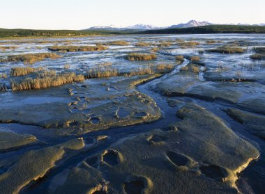 Grizzly Bear Tracks In Mud On Tidal Flats, Alaska