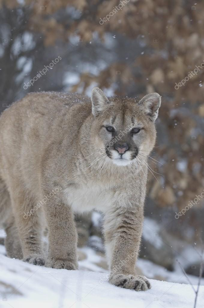 Cougar In Snowfall