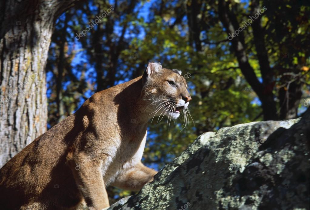 Crouching Cougar On Boulder