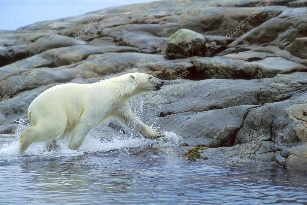 Polar Bear Running Onto Shore