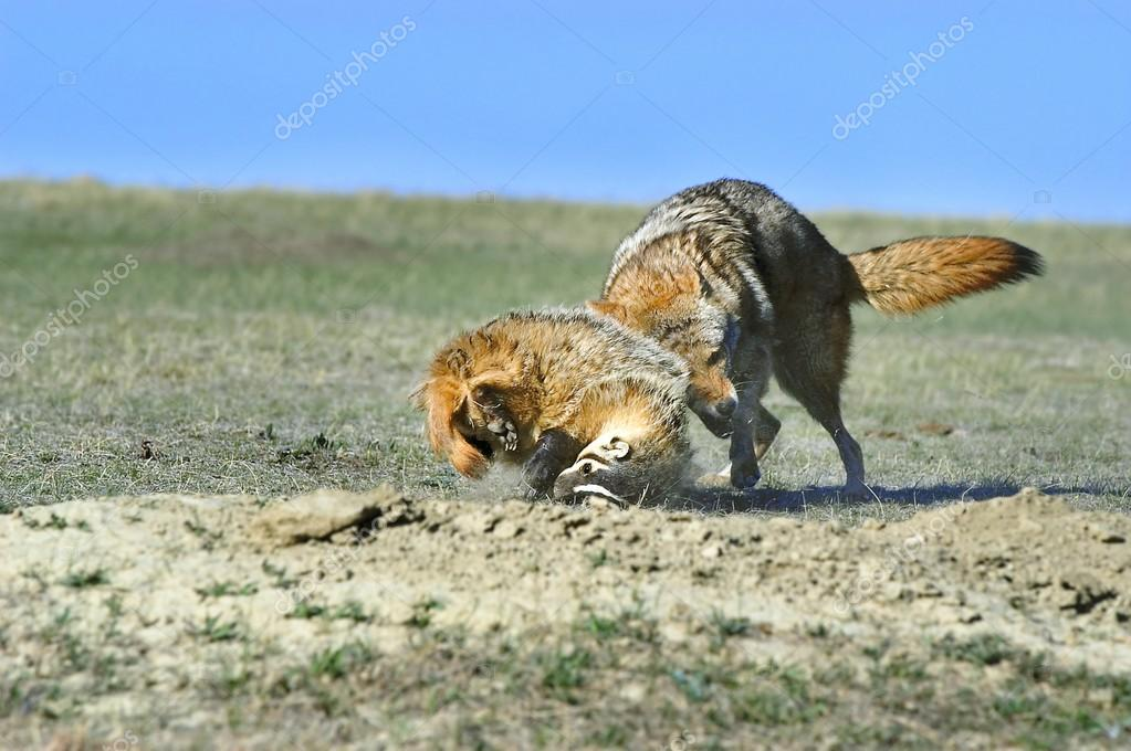 Coyote And Badger Fight Over Prey