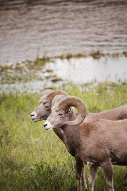 Big Horned Sheep Pair