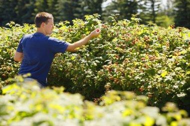 Man Picking Raspberries