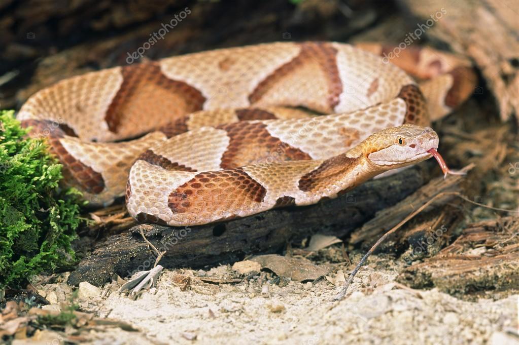 北部マムシの蛇 — ストック写真 ...