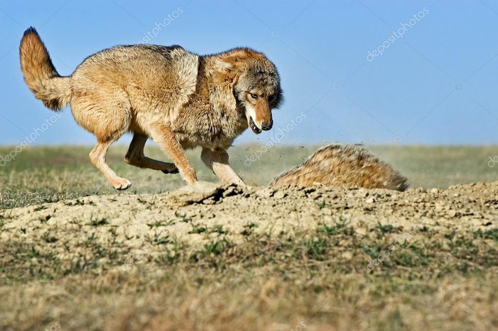 Coyote Attacking Badger