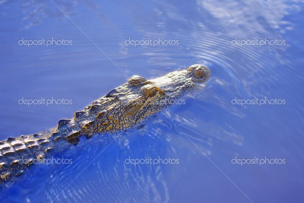 Alligator Above Water