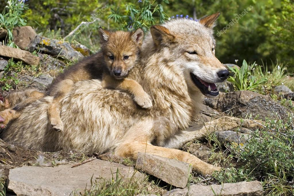 Wolf Cub And Mother At Den Site