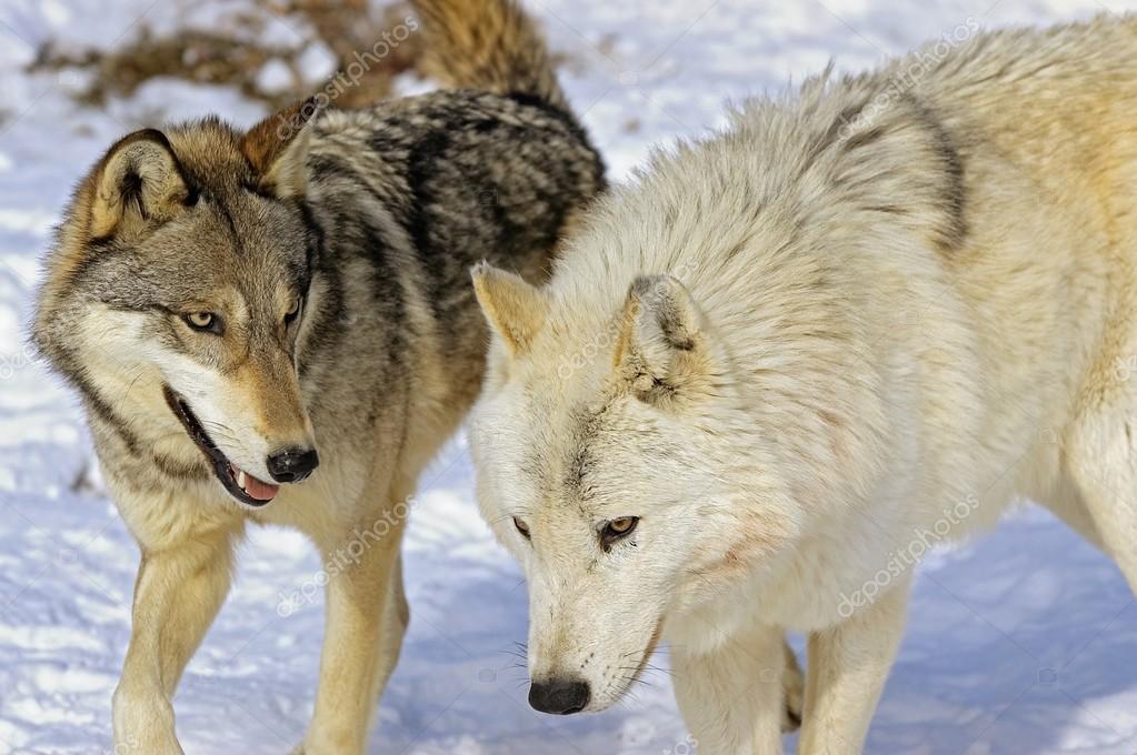 Members Of Wolf Pack