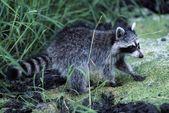 Photo Raccoon