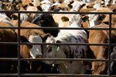 corralled bovini