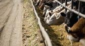 krmení dobytka