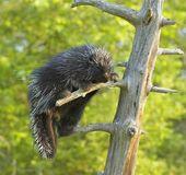 Fotografia istrice sul tronco dalbero