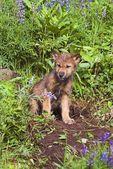 Wolf Cub At Den