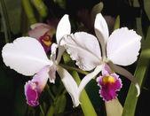 Fotografia orchidea Laelia