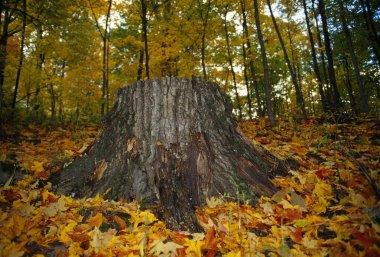 Large Tree Stump In Autumn