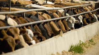 Cattle Feeding From Trough