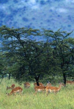 Herd Of Impala, Masai Mara National Reserve, Kenya