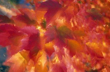 Autumn Leaves Of Maple Trees