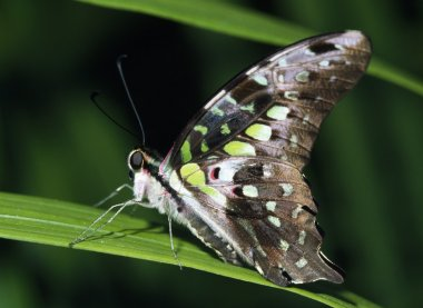 Tailed Jay Butterfly Profile